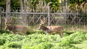 Two adult dears with antlers. Walking together side by side in a fenced area full of grass stock video