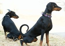 Two adult Doberman Pinscher. Dogs goes to a toilet on the snow in winter royalty free stock images