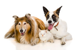 Two adult dogs and tiny kitten. Royalty Free Stock Photography