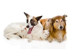 Two adult dogs and tiny kittens.  on white background Royalty Free Stock Photography