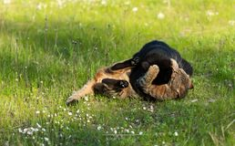 Two adult domestic cat playing in grass and daisies royalty free stock images