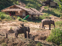 Two adult elephants stand near reed huts Stock Image