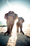 Two adult elephants stock photo