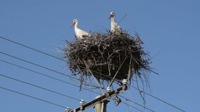 Two Adult European White Stork - Ciconia Ciconia - in nest on top of electric pillar on blue sky background