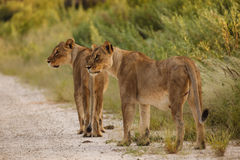 Two adult female lions walk along road in Namibia, Botswana, Africa Royalty Free Stock Images