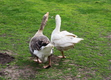 Two adult geese. royalty free stock photos