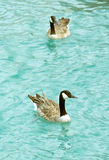 Two adult geese swimming in the lake Royalty Free Stock Photography