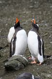 Two adult Gentoo penguins standing tall and calling in a bonding ritual, Aitcho Islands, South Shetland Islands, Antarctica royalty free stock photography