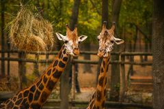 Two adult giraffes feeding at the Zoo. Two adult giraffes feeding with hay at the Zoo in Szeged, Hungary Stock Images