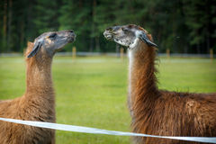 Two adult Guanaco lamas in a dispute Royalty Free Stock Photos