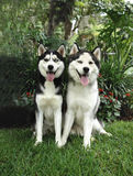 Two adult huskies. Two two years old pure breed Siberian husky sitting royalty free stock photo