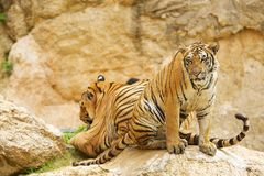 Two adult Indochinese tigers. Royalty Free Stock Images