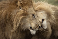 Two adult lions, Serengeti National Park royalty free stock photos