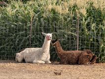 Two adult llamas in a fenced yard Royalty Free Stock Photo