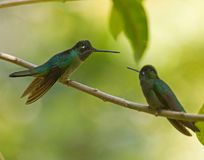 Magnificent Hummingbirds in Panama. Two adult Magnificent Hummingbirds perched on a branch in the rainforest of Panama stock photography