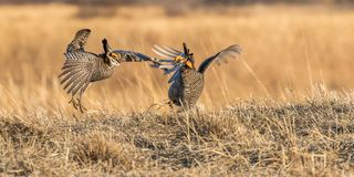 Greater Prairie Chickens Royalty Free Stock Images