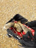 Two adult male sable ferrets at Seaford East Sussex. Two adult male hob sable colour ferrets out in the pet ram at Seaford East Sussex royalty free stock image
