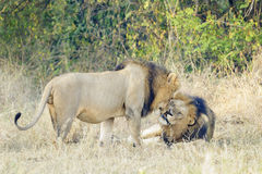 Two adult male lion greeting. Two adult male lion Panthera leo greeting, Serengeti National Park, Tanzania Stock Photos