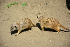 Two adult meerkats are in zoo Royalty Free Stock Image