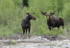 Two adult moose graze by the river. Royalty Free Stock Images