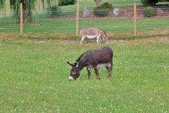 Two Adult Mules Grazing in Meadow Stock Photo