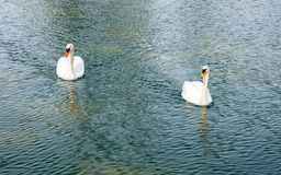 Two adult mute swans approaching on water. Stock Image