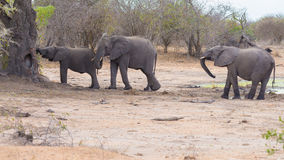 Two adult and one young African Elephants walking in the bush. Wildlife Safari in the Kruger National Park, the main travel destin Royalty Free Stock Photography