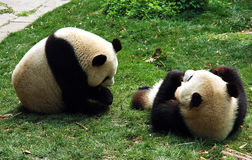 Two adult panda Stock Images