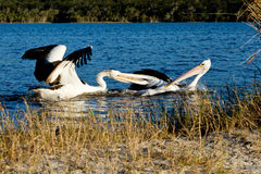 Two adult Pelicans fighting over fish Royalty Free Stock Images