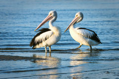 Two adult pelicans standing in water. Two adult Australian pelicans standing in water, in morning sun Royalty Free Stock Photography