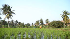 Two adult persons working on the rice field in Hampi. stock footage