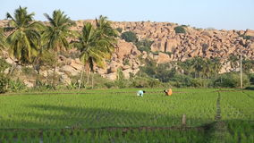 Two adult persons working on the rice field in Hampi. HAMPI, INDIA - 28 JANUARY 2015: Two farmers working in rice field in Hampi stock footage