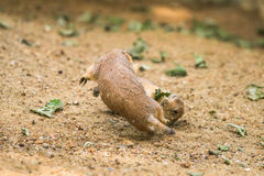 Two adult prairie dogs fighting Stock Image
