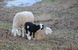 Two adult sheep and the newborn lamb Royalty Free Stock Images