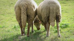 Two adult sheeps eating grass, grazing in meadow, back view. Adult sheep is eating, grass in meadow, grazing, detail, back view stock video footage
