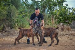 Breeder man shows two singing Boerboel dogs royalty free stock photos