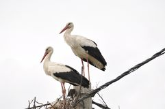 Two adult stork in nest on concrete pole. Bird with long legs. White stork on cloudy sky stock image