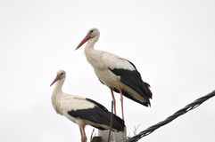 Two adult stork in nest on concrete pole. Bird with long legs. White stork on cloudy sky royalty free stock photos
