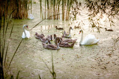 Two adult swans swimming with nestlings on lake at evening Royalty Free Stock Images