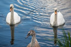 Two adult swans with a young signet on a lake stock images