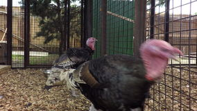 Two adult turkey in a cage stock footage