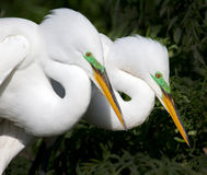 Two adult white egrets rest after mating Royalty Free Stock Images