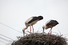 Two adult white storks in the slot synchronously tilted the heads. Against the background of the light blue sky stock photo