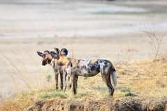 African Wild painted dogs standing on the edge of the riverbank surveying the area in South Luangwa, Zambia Stock Images