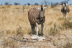 Two adult zebra and one baby resting Royalty Free Stock Photography