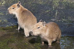 Two adults capybara (Hydrochoerus hydrochaeris) Royalty Free Stock Photography