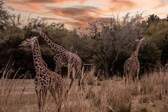 Two Adults and One Baby Giraffes in the wild on sunset.  stock photo