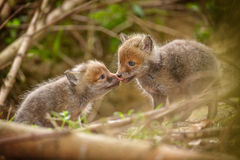 Two affectionate young fox cubs Royalty Free Stock Photography