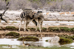 Two affectionate Zebras Royalty Free Stock Images