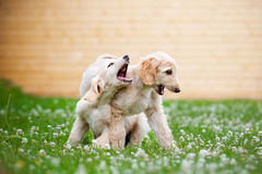 Two afghan hound puppies playing outdoors Royalty Free Stock Photo